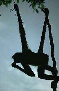 Black spider monkey silhouetted at dusk hanging from branch by prehensile tail (Ateles paniscus paniscus) Amazonia, Brazil - Nick Gordon