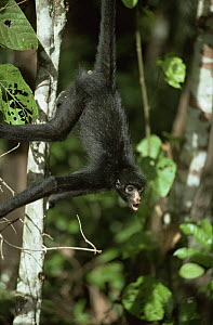 Spider monkey calling and hanging from branch by prehensile tail (Ateles paniscus paniscus) Amazonia, Brazil - Nick Gordon