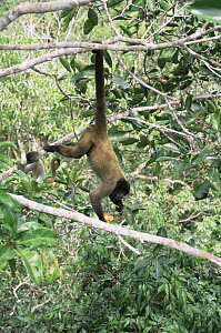 Common woolly monkey and baby (Lagothrix lagotricha) hanging from tail in tree eating fruits, Amazonia, Brazil - Nick Gordon
