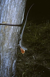 Cuban Brown Anole lizard (Anolis sagrei) male on a tree with his brightly coloured dewlap erected, Cuba  -  PREMAPHOTOS