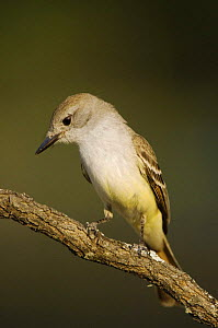 Ash-throated Flycatcher {Myiarchus cinerascens} Texas, USA  -  Rolf Nussbaumer