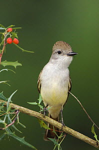 Ash-throated Flycatcher {Myiarchus cinerascens} on Berberis bush, Texas, USA  -  Rolf Nussbaumer