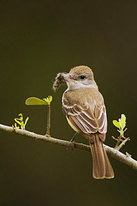 Ash-throated Flycatcher {Myiarchus cinerascens} adult with nesting material, Texas, USA  -  Rolf Nussbaumer