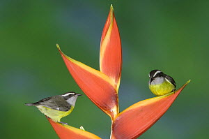 Bananaquit {Coereba flaveola} two adults on Heliconia plant, Costa Rica  -  Rolf Nussbaumer