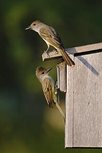 Brown-crested Flycatcher {Myiarchus tyrannulus} pair at nest box, Rio Grande Valley, Texas, USA,  -  Rolf Nussbaumer