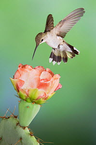 RF- Black-chinned Hummingbird (Archilochus alexandri) female in flight feeding on Texas Prickly Pear Cactus (Opuntia lindheimeri). Hill Country, Texas, USA. (This image may be licensed either as right...  -  Rolf Nussbaumer