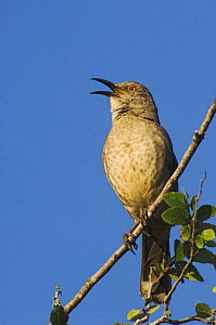 Curve-billed Thrasher {Toxostoma curvirostre} male singing, Rio Grande Valley, Texas, USA  -  Rolf Nussbaumer