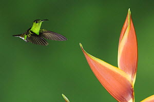Coppery-headed Emerald, Elvira cupreiceps, male in flight on Heliconia flower, Central Valley, Costa Rica, Central America, December 2006  -  Rolf Nussbaumer