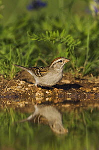 Chipping Sparrow, Spizella passerina, adult drinking, Uvalde County, Hill Country, Texas, USA, April 2006  -  Rolf Nussbaumer
