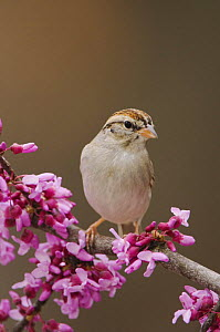 Chipping Sparrow, Spizella passerina, adult perched on branch of blooming Eastern redbud (Cercis canadensis), New Braunfels, Texas, USA, March 2006  -  Rolf Nussbaumer