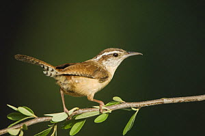 Carolina Wren {Thryothorus ludovicianus} Hill Country, Texas, USA, April  -  Rolf Nussbaumer