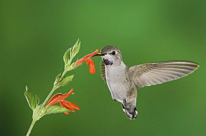 Costa's Hummingbird {Calypte costae} young male feeding on Sage flower, Tuscon, Arizona, USA, September - Rolf Nussbaumer