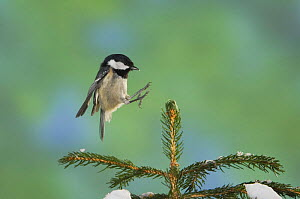 Coal Tit {Periparus ater} adult landing on branch of spruce tree, Switzerland  -  Rolf Nussbaumer