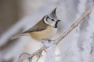 Crested Tit {Lophophanes cristatus} adult on frozen branch in winter, minus 15 Celsius, Switzerland - Rolf Nussbaumer