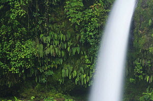 La Paz Waterfall in Cloudforest, Central Valley, Costa Rica, Central America, December 2006  -  Rolf Nussbaumer