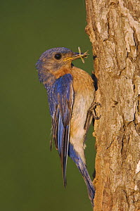 Eastern Bluebird {Sialia sialis} male brings insect prey to nest hole, Rio Grande Valley, Texas, USA - Rolf Nussbaumer