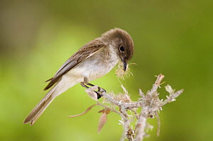 Eastern Phoebe {Sayornis phoebe} adult collecting nesting material, Hill Country, Texas, USA  -  Rolf Nussbaumer