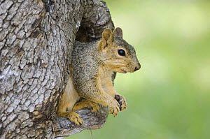 Eastern Fox Squirrel {Sciurus niger} in tree cavity, Hill Country, Texas, USA - Rolf Nussbaumer