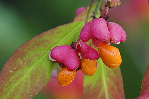 European Spindle-Tree {Euonymus europaea} berries / seeds in autumn, Switzerland  -  Rolf Nussbaumer