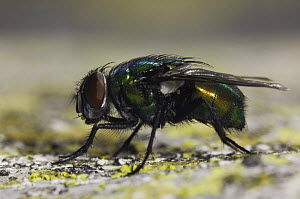 Green Bottle Fly, Lucilia / Phaenicia sericata} adult,  Hill Country, Texas, USA - Rolf Nussbaumer