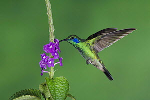Green Violetear {Colibri thalassinus} male in flight feeding on Porterweed (Stachytarpheta), Central Valley, Costa Rica  -  Rolf Nussbaumer