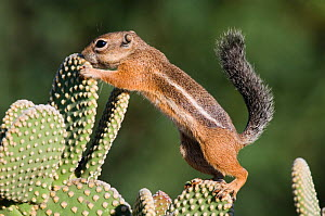 RF- Harris's Antelope Squirrel (Ammospermophilus harrisii) adult on Prickly pear cactus (Opuntia). Tuscon, Arizona, USA. (This image may be licensed either as rights managed or royalty free.)  -  Rolf Nussbaumer