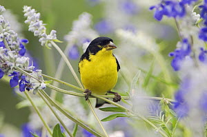 Lesser Goldfinch {Carduelis psaltria} black-backed male on Mealy sage (Salvia farinacea) Hill Country, Texas, USA  -  Rolf Nussbaumer