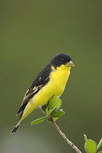 Lesser Goldfinch {Carduelis psaltria} black-backed male perched, Hill Country, Texas, USA  -  Rolf Nussbaumer