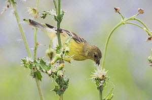 Lesser Goldfinch {Carduelis psaltria} female feeding on seeds of Spiny Sow-Thistle (Sonchus asper) Hill Country, Texas, USA, April 2006  -  Rolf Nussbaumer