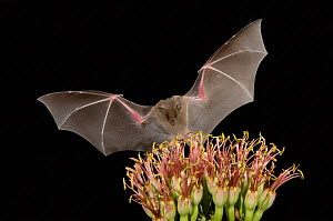 RF- Lesser Long-nosed Bat (Leptonycteris curasoae) flying at night to feed on Agave flower (Agave sp). Tuscon, Arizona, USA. (This image may be licensed either as rights managed or royalty free.) - Rolf Nussbaumer