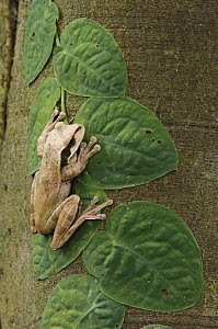 Masked Treefrog {Smilisca phaeota} on leaves of climbing plant, Carara Biological Reserve, Costa Rica  -  Rolf Nussbaumer