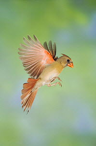 Northern Cardinal {Cardinalis cardinalis} female in flight, Hill Country, Texas, USA - Rolf Nussbaumer