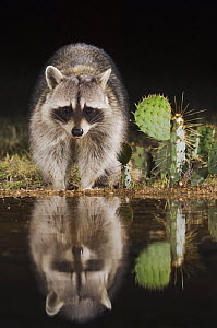 Northern Raccoon {Procyon lotor} at water at night, Hill Country, Texas, USA - Rolf Nussbaumer