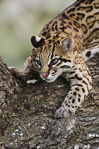 Ocelot {Felis pardalis} captive, female, Welder Wildlife Refuge, Texas, USA  -  Rolf Nussbaumer