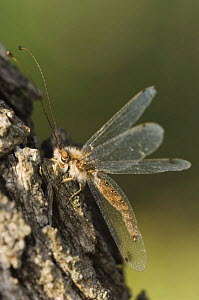 Owlfly {Ascalaphidae} adult on mesquite tree bark,  Rio Grande Valley, Texas, USA  -  Rolf Nussbaumer