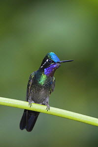 Purple-throated Mountain-gem {Lampornis calolaema} male perched, Central Valley, Costa Rica  -  Rolf Nussbaumer