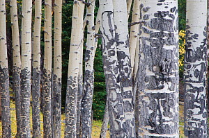 RF- Trunks of Quaking Aspen trees (Populus tremuloides) in autumn. Rocky Mountain National Park, Colorado, USA. (This image may be licensed either as rights managed or royalty free.)  -  Rolf Nussbaumer