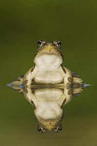 Rio Grande Leopard Frog {Rana berlandieri} with reflection in water, Hill Country, Texas, USA  -  Rolf Nussbaumer
