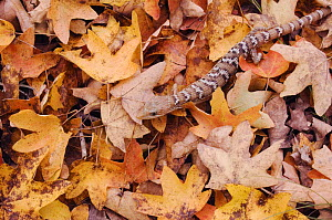 Texas Alligator Lizard {Gerrhonotus infernalis} amongst leaf litter of Bigtooth Maple (Acer grandidentatum) Lost Maples State Park, Texas, USA - Rolf Nussbaumer