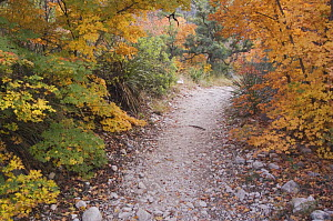 McKittrick Canyon trail and Bigtooth Maples (Acer grandidentatum) in autumn, McKittrick Canyon, Guadalupe Mountains National Park, Texas, USA, November 2005  -  Rolf Nussbaumer