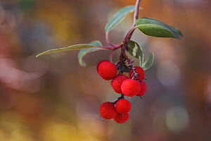Texas Madrone {Arbutus xalapensis} berries, Guadalupe Mountains National Park, Texas, USA  -  Rolf Nussbaumer