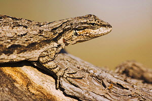 Tree Lizard {Urosaurus ornatus} camouflaged on log, Hill Country, Texas, USA - Rolf Nussbaumer