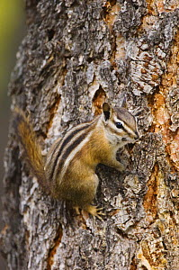 Uinta Chipmunk {Eutamias / Tamias umbrinus} adult on bark of Ponderosa pine (Pinus ponderosa), Rocky Mountain National Park, Colorado, USA  -  Rolf Nussbaumer