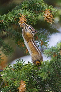 Uinta Chipmunk {Eutamias / Tamias umbrinus} feeding on cones of Ponderosa pine (Pinus ponderosa), Rocky Mountain National Park, Colorado, USA  -  Rolf Nussbaumer
