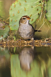 White-crowned Sparrow {Zonotrichia leucophrys} juvenile drinking, Hill Country, Texas, USA  -  Rolf Nussbaumer