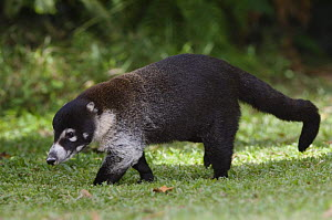 White-nosed Coati {Nasua narica} adult walking, Central Valley, Costa Rica  -  Rolf Nussbaumer