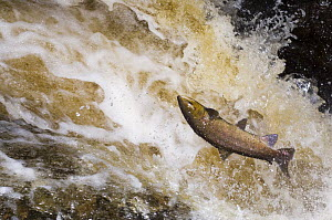 Atlantic salmon {Salmo salar} leaping up waterfall on migration and falling back into the water, Perthshire, Scotland, UK 2006 - Niall Benvie