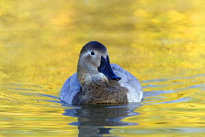Canvasback duck (Aythya valisineria) female, Captive, UK, from North America  -  David Kjaer