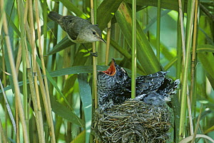 Reed warbler (Acrocephalus scirpaceus) with large fledgling Cuckoo (Cuculus canorus) in it's nest, Essex, UK  -  David Kjaer