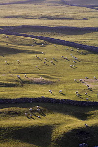 Hillside with dry stone walls and sheep (Ovis aries) grazing, Yorkshire Dales National Park, England - Nick Turner